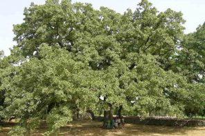 """Omaggio agli alberi: <br> anche l'Italia <br> al """"Tree of the Year 2020"""""""