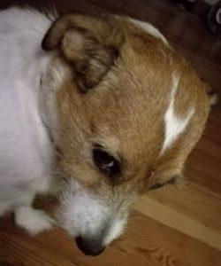 Cani a spasso almeno 2 volte al giorno: in Germania può diventare legge